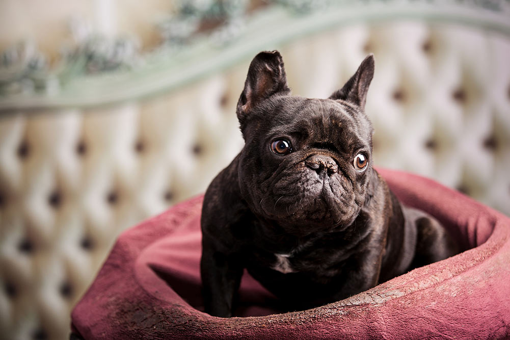 Why Does Your French Bulldog Eat His Poop