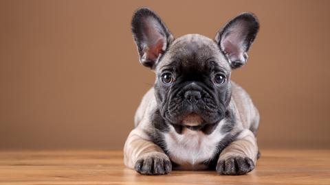 Why is Your French Bulldog Licking its Paws