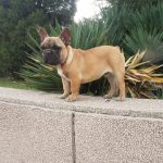 Are French Bulldogs Good Apartment Dogs