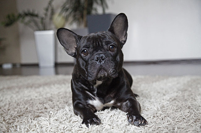 Do French bulldogs need a lot of exercise