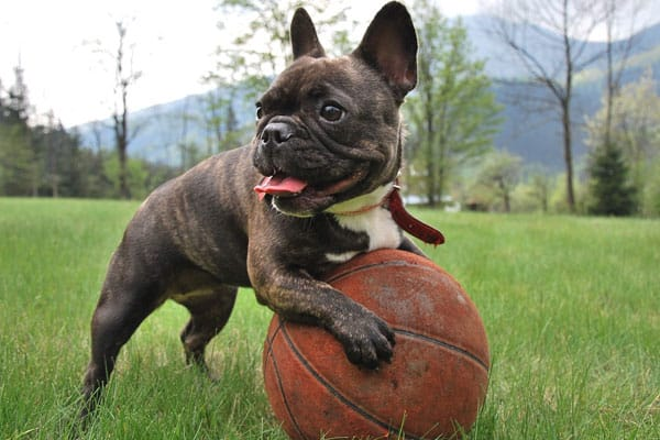 Exercise chart for French Bulldog puppies