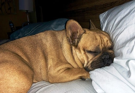 How To Help Your French Bulldogs Sleep