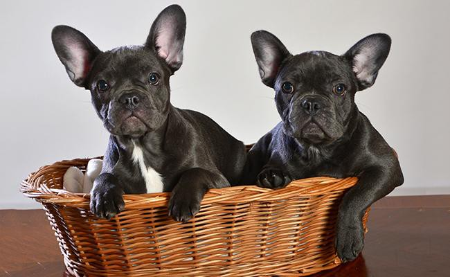 How much space do French bulldogs need