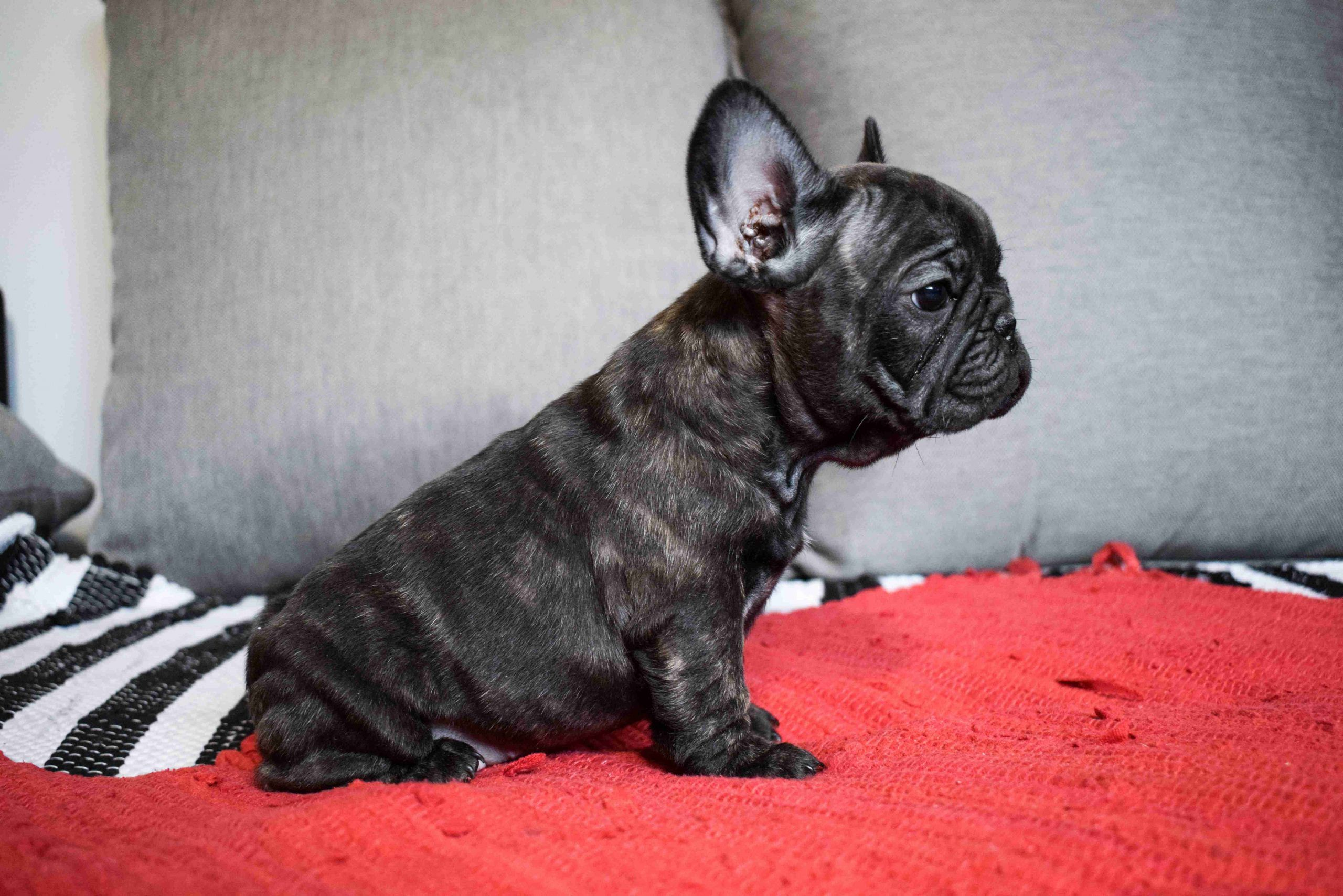 Pros and cons of neutering the French Bulldogs
