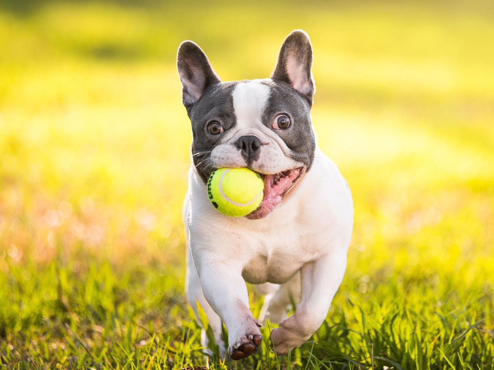 What Were French bulldogs bred for
