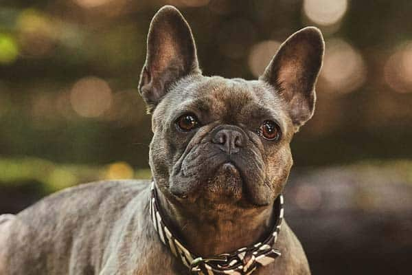Why do Frenchies fart more than other dogs