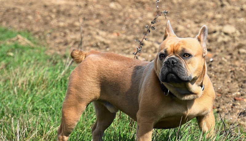Are French Bulldogs Born With Tails?