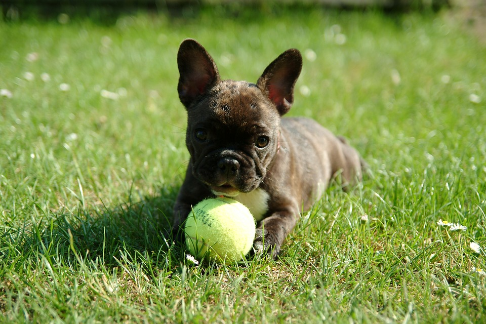 How To Treat the Hair Loss In A French Bulldog
