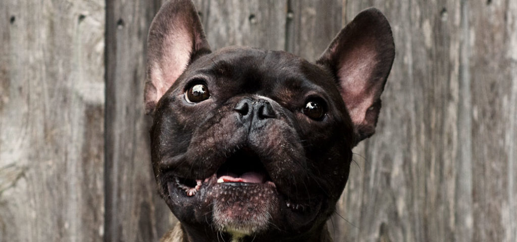 How to Stop Your French Bulldogs Aggression