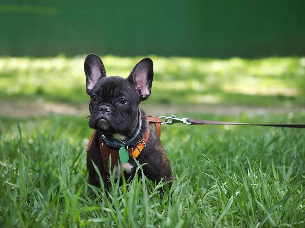How to Train A French Bulldog To Wear A Harness