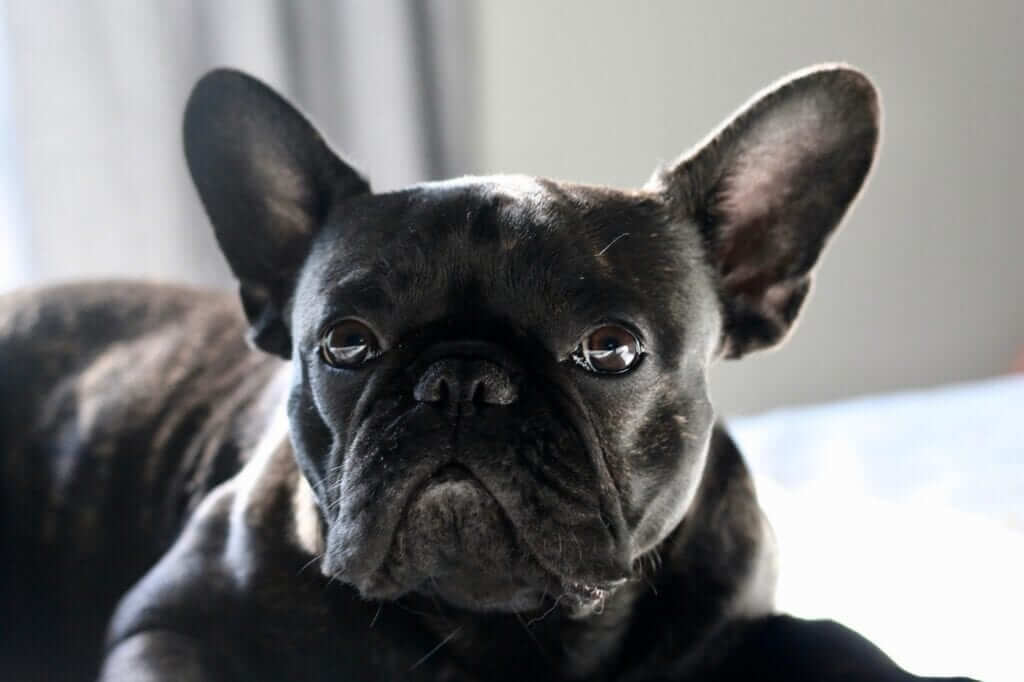 The French Bulldogs and Aggression