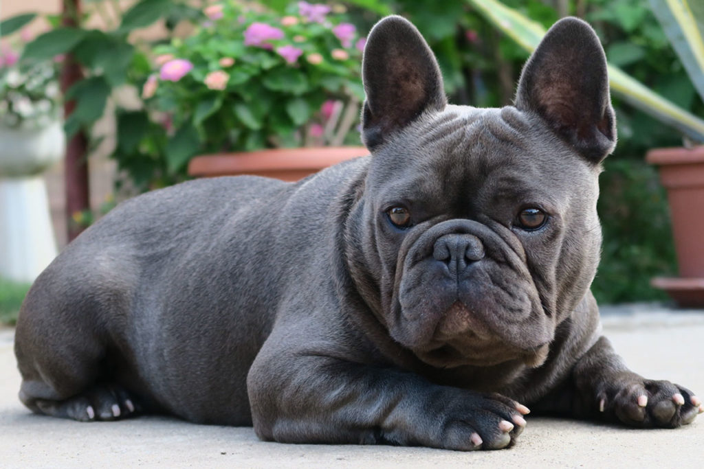 Why do French Bulldogs reverse sneeze