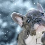 Do French Bulldogs Get Cold Easily?