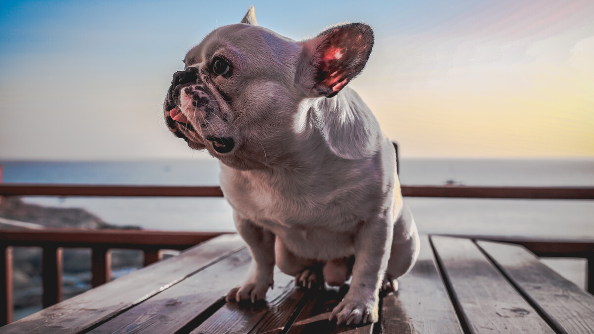 What Fruit Can French Bulldogs Eat?
